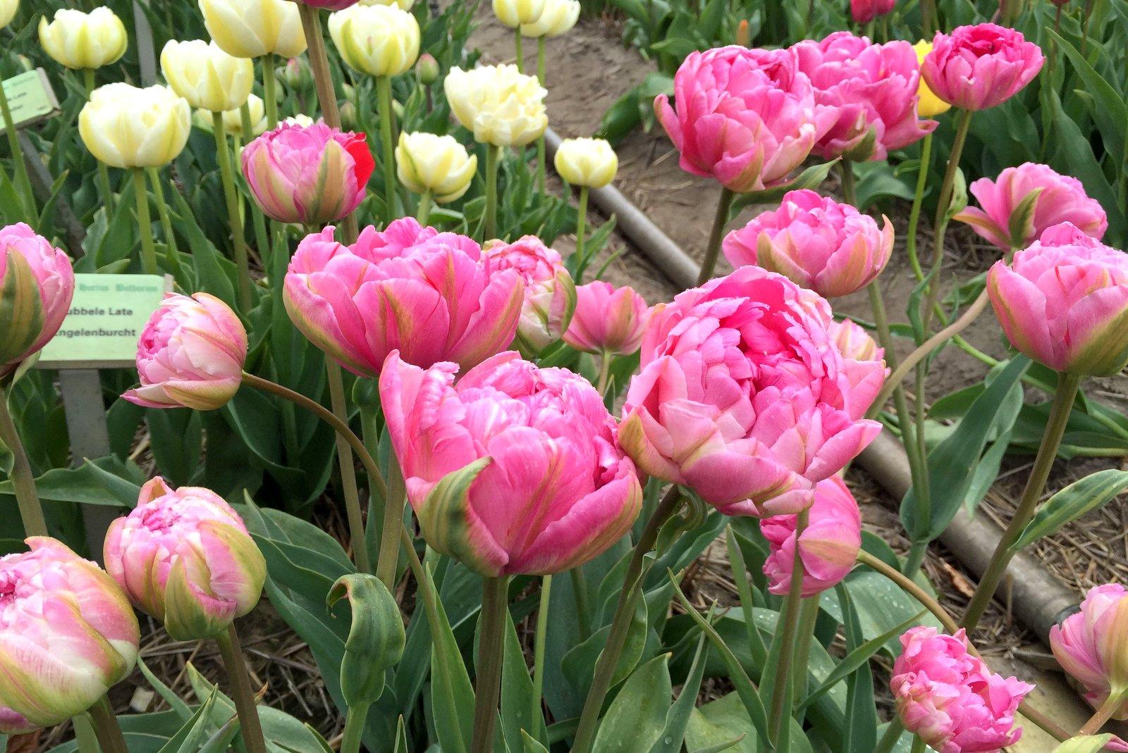 Пионовидные тюльпаны выращивание 879